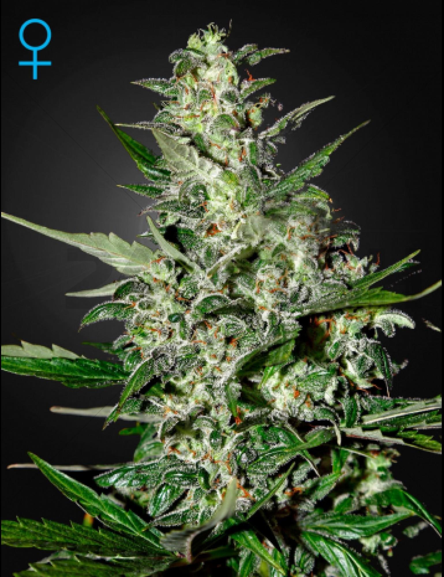 Super Critical GreenHouse Seeds  Autofloreciente