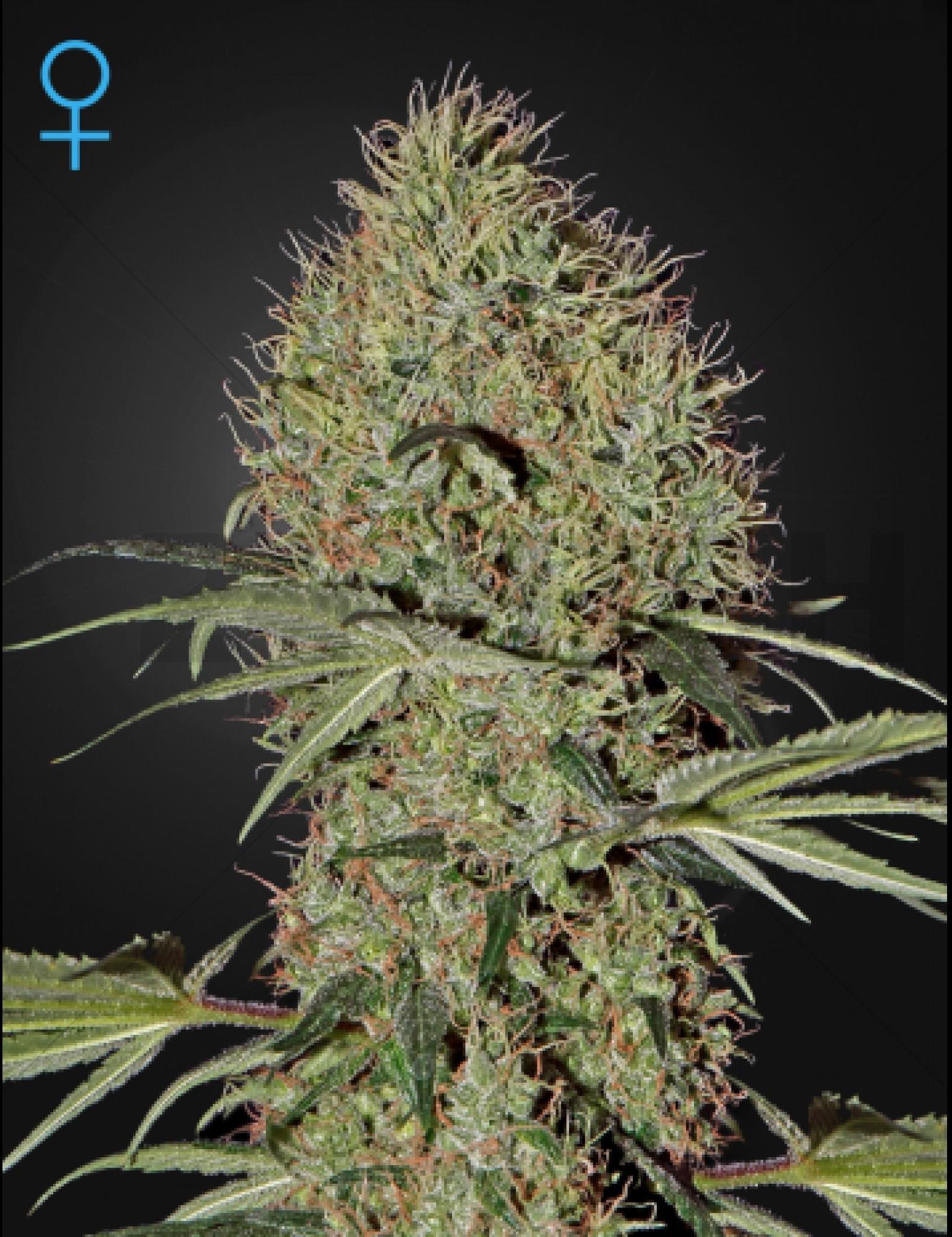 Super Bud Autoflowering (Autofloreciente)