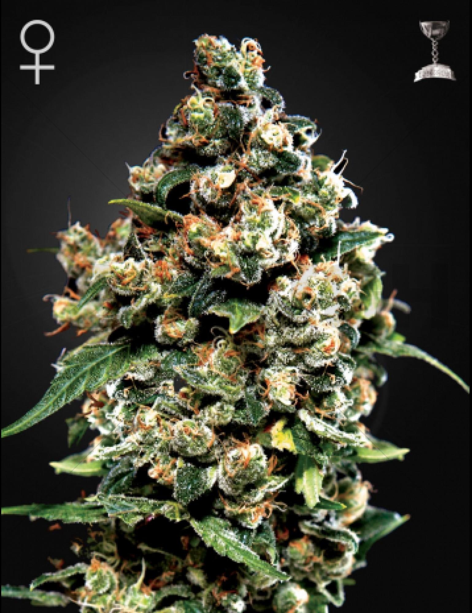 Jack Herer (Green House Seeds)