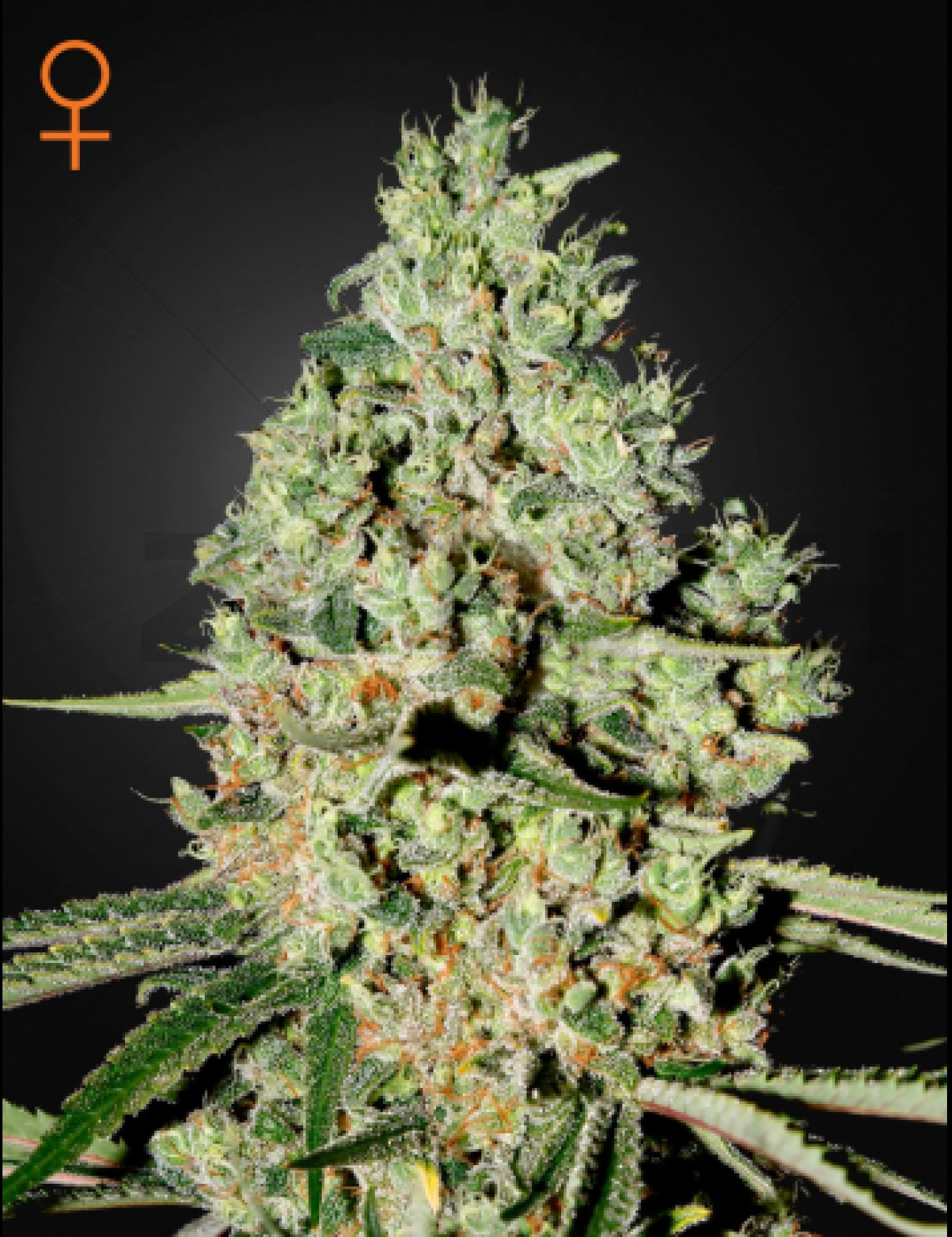Super Critical Feminised (Green House Seeds)
